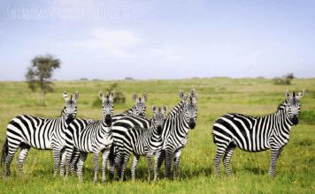 Dlaczego zwierzęta są szczupłe